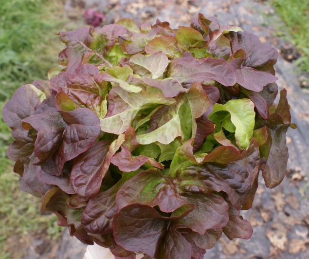 Eichblattsalat, rot