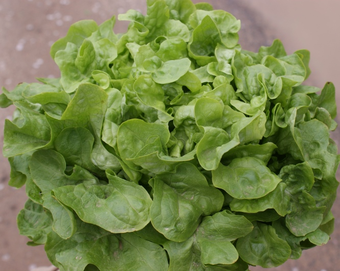Eichblattsalat, grün