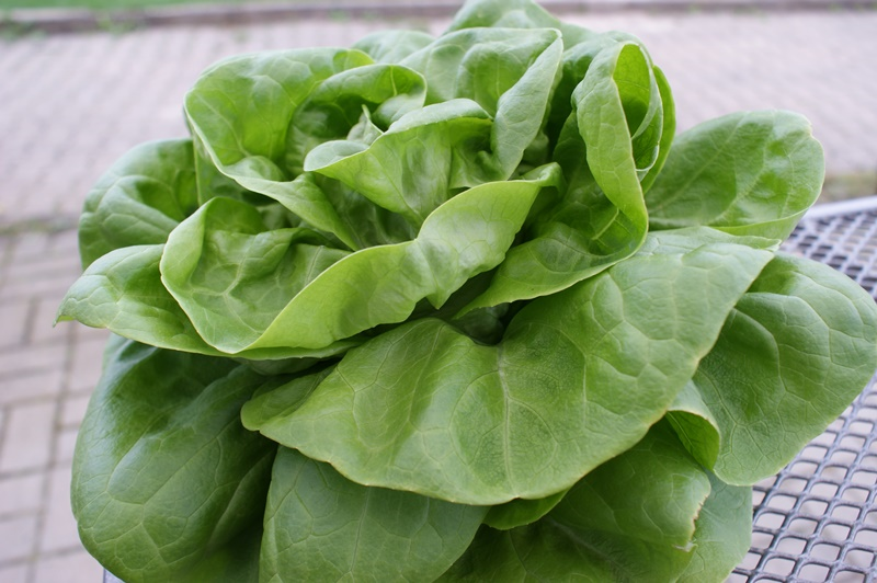 grüner Kopfsalat